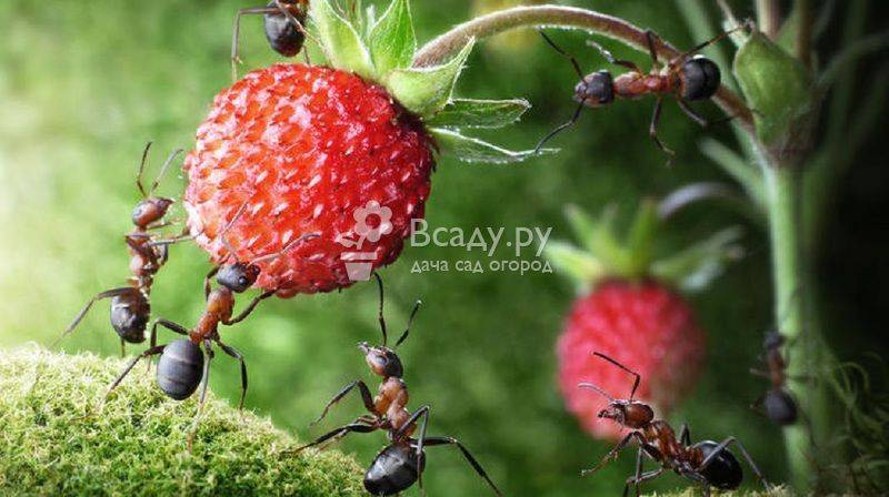 Чем опасны муравьи для капусты, как от них избавиться? что делать, если вредители едят растение?