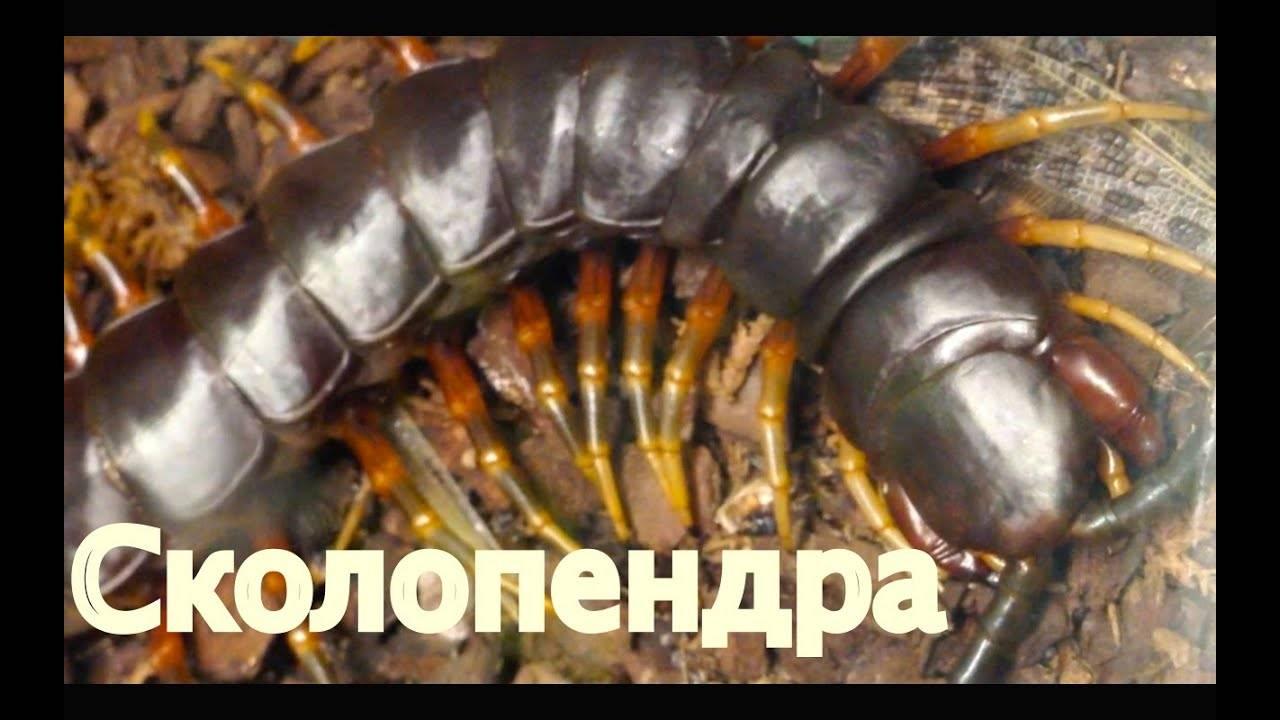 Домашняя сколопендра — опасна ли для человека?