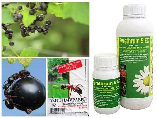 Как бороться на смородине с муравьями и тлей