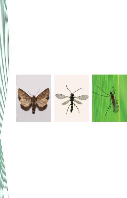 Гессенская муха: громкое имя мелкого, но многочисленного вредителя полей