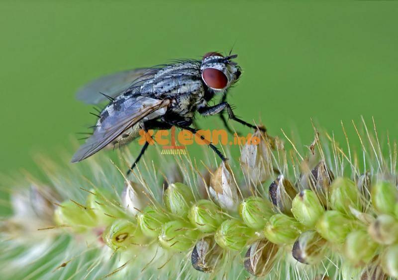 Луковая муха, как с ней бороться