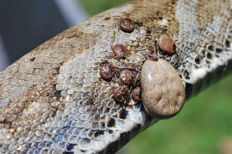 Клещи на змее: виды, диагностика, лечение, чем обработать рептилию и ее террариум от паразитов