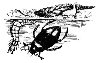 Кто такой водолюб большой? питание, описание мест обитания