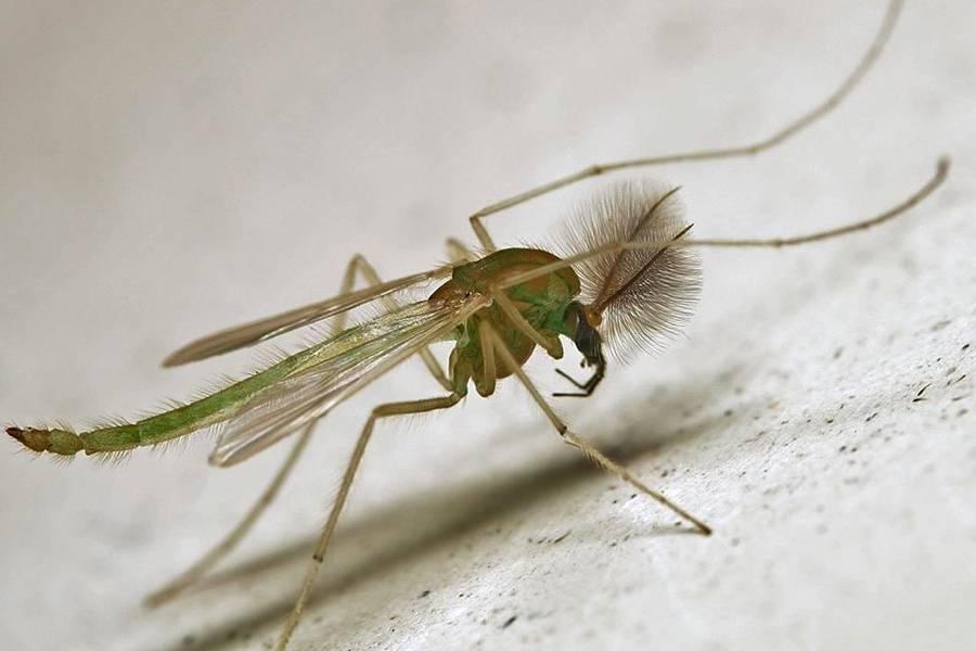 Для чего в природе нужны комары. как размножаются комары: особенности, характерные для летающих кровососов чем питаются самцы
