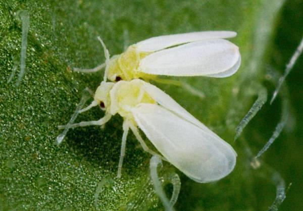 Чем вывести и как уничтожить бабочку белокрылку в домашних условиях