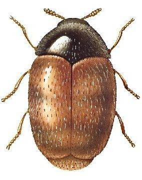 Как избавиться от жуков кожеедов в квартире