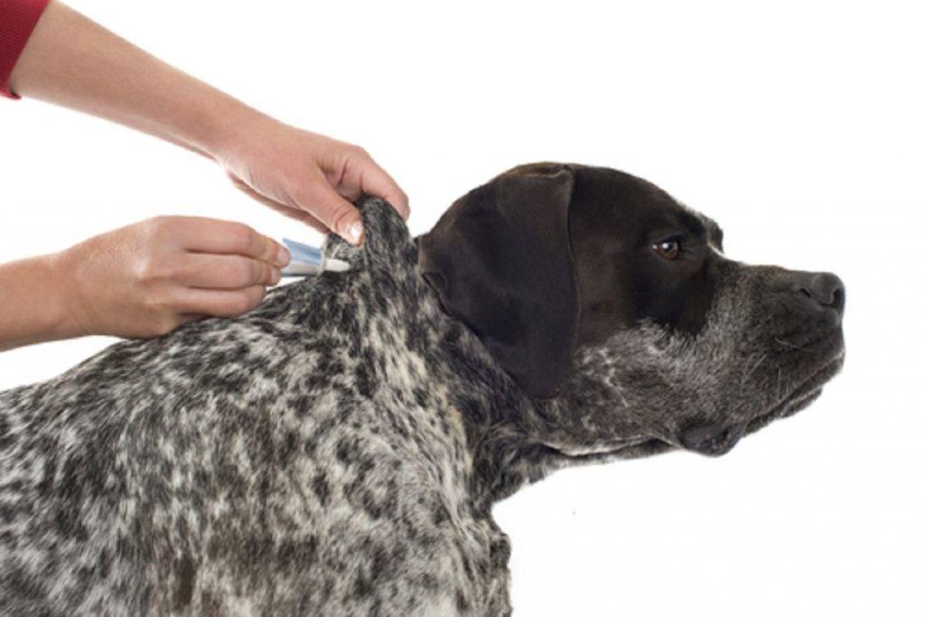 Таблетки «бравекто» от блох: эффективность и правила применения для собак