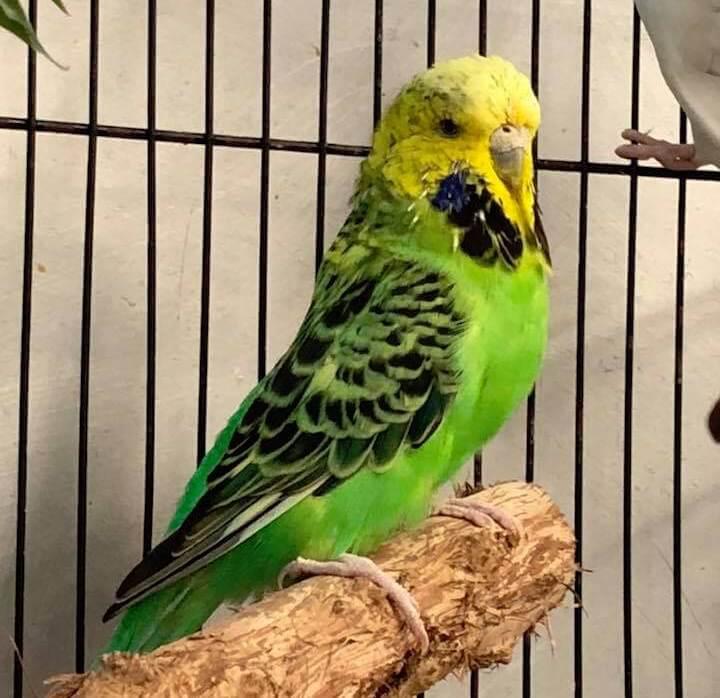 Клещ у попугая – лечение и меры профилактики