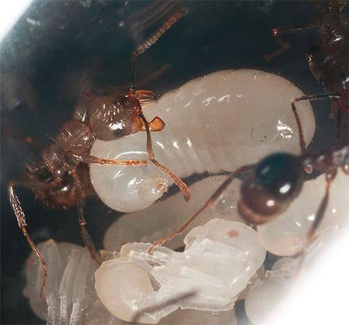Как муравьи готовятся к зиме — как зимуют садовые муравьи