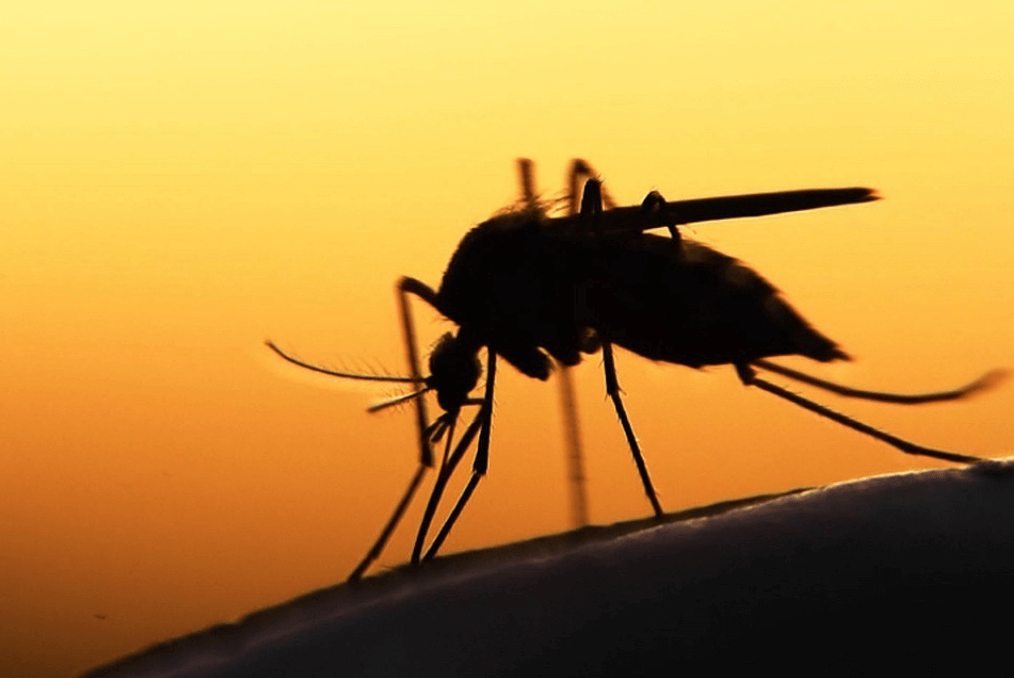 Чем отличаются москиты от комаров
