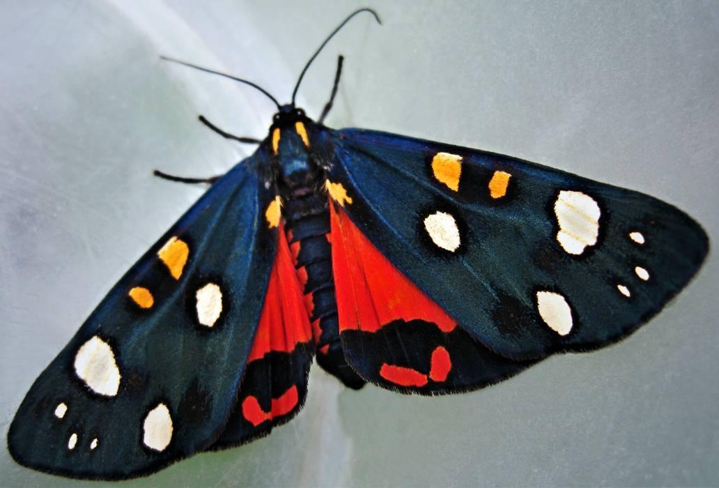 К какому семейству относится бабочка медведица. бабочка медведица госпожа – летнее чудо у ручья