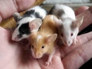 Большая семья маленьких грызунов: разновидности мышей