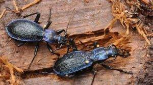 Жужелица в саду: описание насекомого, что делать при обнаружении жука