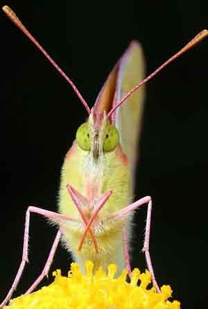 Желтушка луговая