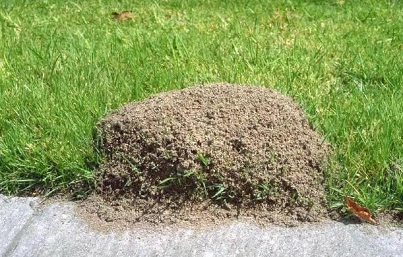 Нашатырный спирт от муравьев: где и как можно применять народное средство?