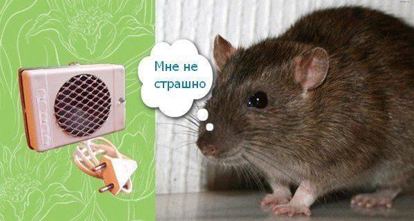 Как избавиться от крыс в курятнике – эффективные способы защиты яиц и молодых птенцов от вредителей