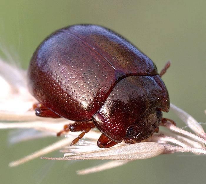 Листоеды – вредные и полезные жуки