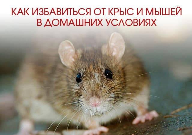 Какими средствами травить крыс и мышей?