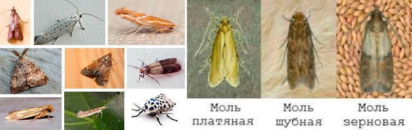 Моль всё о насекомом