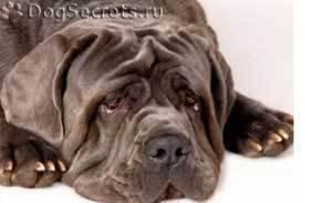 Ленточные глисты у собак: лечение и симптомы