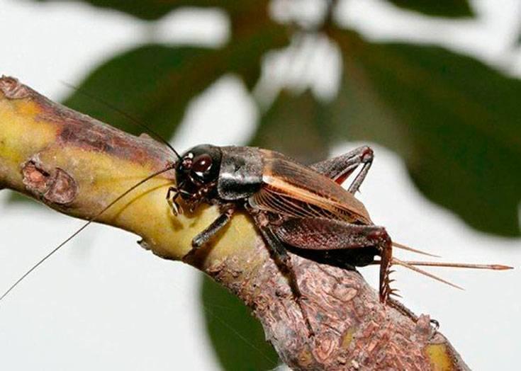 Как выглядит сверчок — фото и описание видов насекомого. сверчок: почему поют сверчки