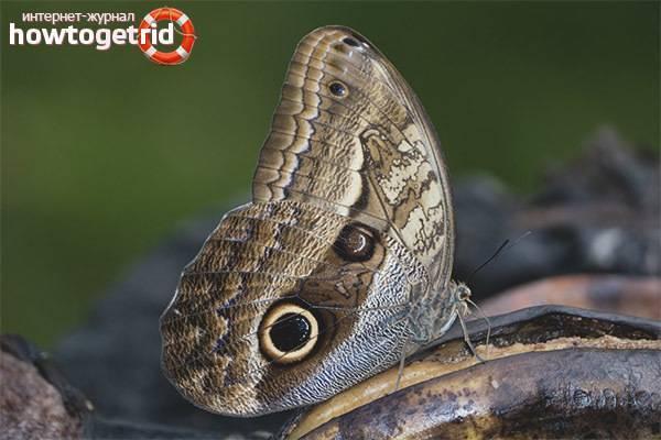 Бабочка сова – тропическое чудо маскировки