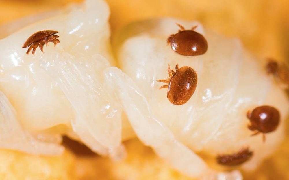 Что нужно знать о лечении пчел от варроатоза