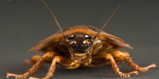 Укусы тараканов на человеке — нападение насекомых на людей, как выглядит укус и что делать при его обнаружении, отзывы