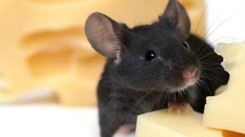 Мыши в квартире: как избавиться в домашних условиях быстро и навсегда