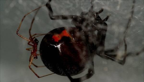 Паук чёрная вдова - ядовитый хищник