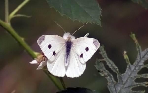 Вредитель бабочка капустница: описание, что ест, борьба с насекомым