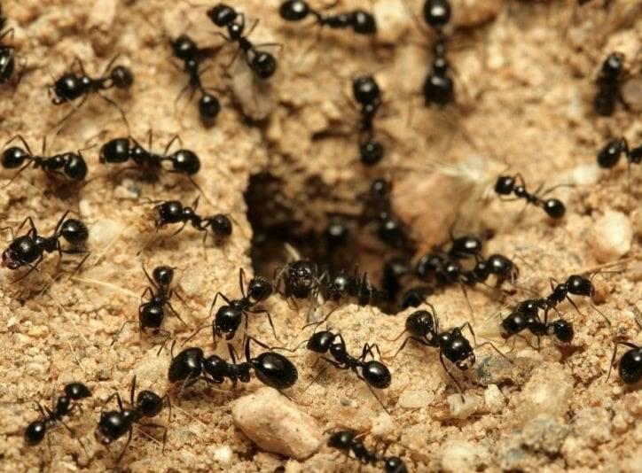 Как избавиться от муравьев в огороде, какими методами и средствами