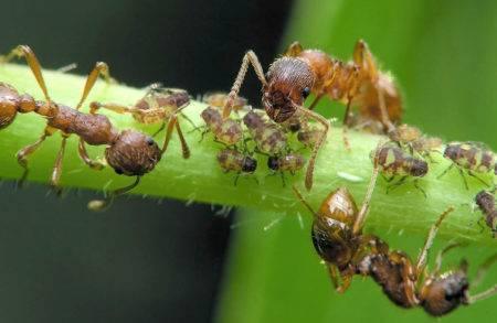Эффективное средство от муравьев в теплице: как навсегда избавиться от насекомых на томатах