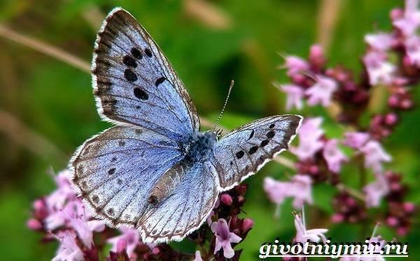 Какого цвета бабочка голубянка?