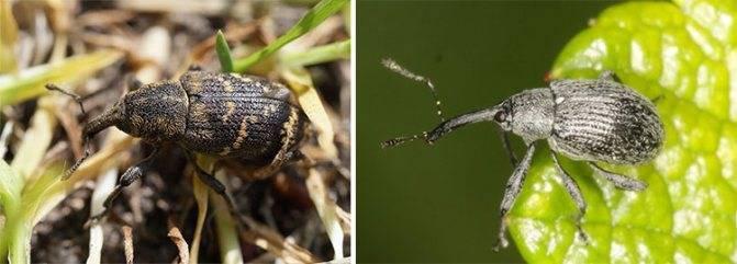 Вред жука-долгоносика для комнатных растений, методы борьбы