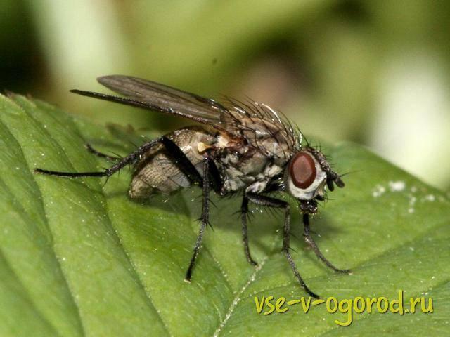Луковая муха – как не остаться без урожая