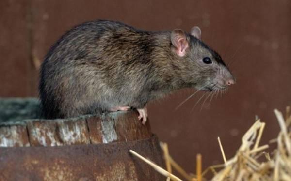 Как избавиться от мышей и крыс, которые грызут картошку в погребе