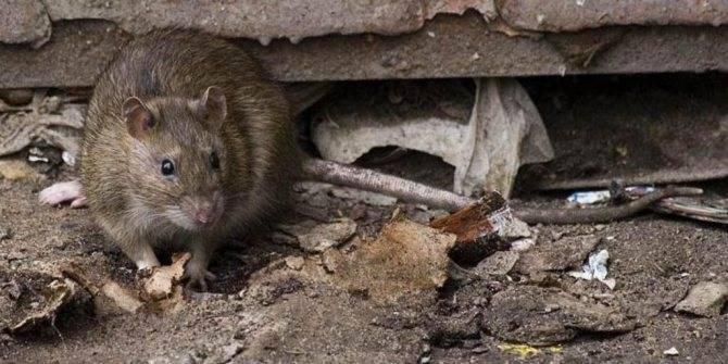 Укус крысы – как выглядит, чем опасен и что делать если укусила крыса