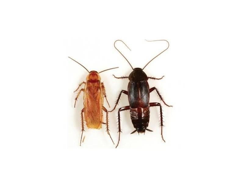 Как выглядят взрослые тараканы и их личинки?
