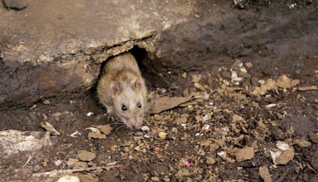 Мыши в каркасном доме – как бороться и защитить дом