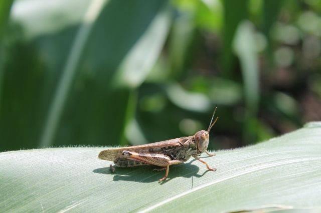 Как эффективно бороться с саранчой на даче — народные методы и список распространенных инсектицидов