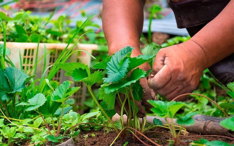 Вредители клубники: как бороться с долгоносиком, чем обработать посадки. народные средства для обработки клубники от долгоносика