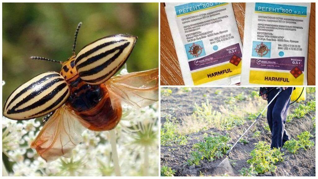 Как правильно использовать средство регент от тараканов, и насколько оно помогает?