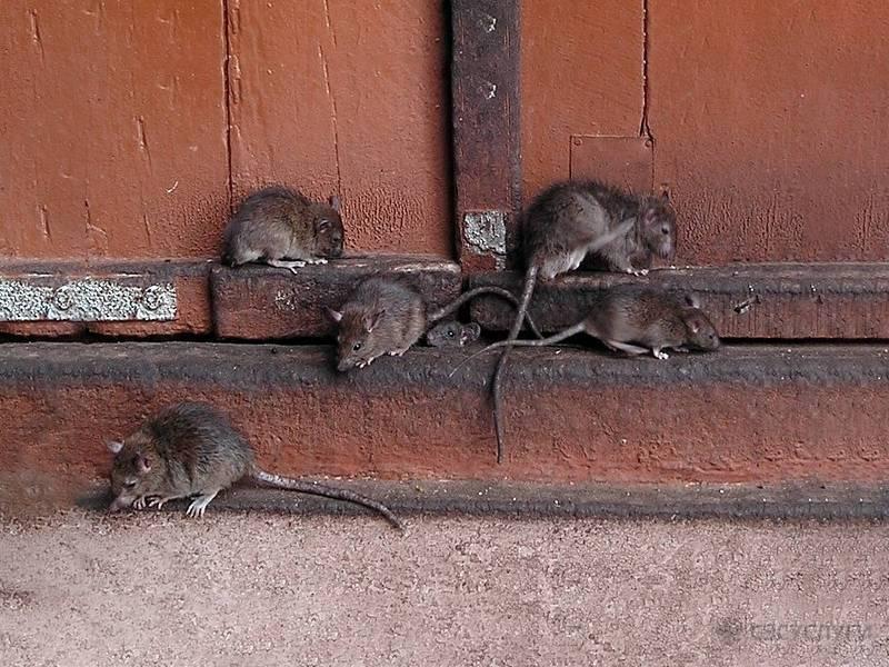Как избавиться от крыс в частном доме навсегда народными средствами