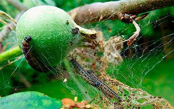 Что делать, если завелась паутина и гусеницы на яблоне?