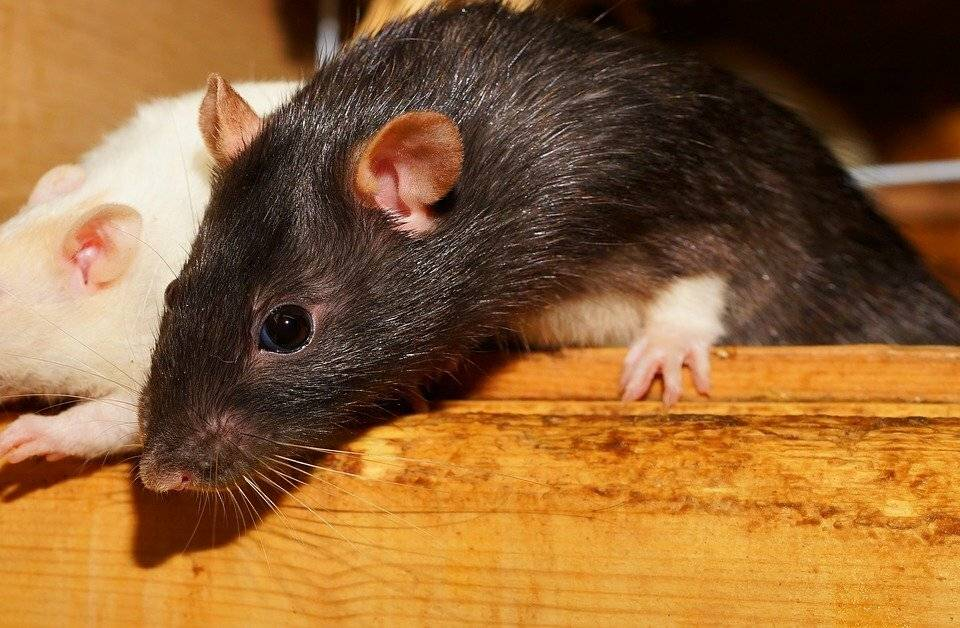 11 неожиданных итрогательных фактов окрысе— символе года-2020