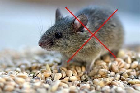 Грызут ли мыши монтажную пену?