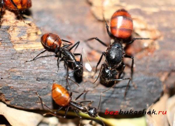 Как можно быстро избавиться муравьев, которые завелись в бане