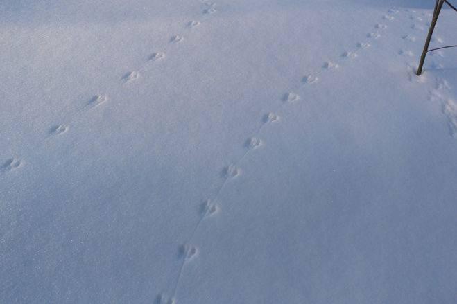 Следы хорька на снегу фото