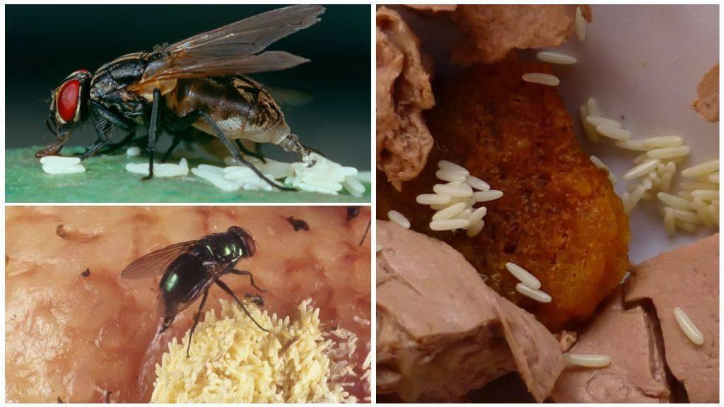Что делать если съел опарыш мясной мухи. что будет, если съесть яйца или личинки мухи. яйца мухи на продуктах